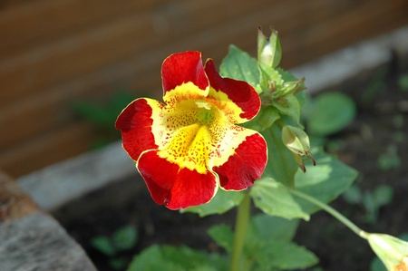 lamiales: Mimulus is a diverse plant genus, the monkey-flowers and musk-flowers. The about 150 species are currently placed in the family Phrymaceae