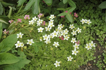 Saxifraga is the largest genus in the family Saxifragaceae, containing about 440 species of Holarctic perennial plants, known as saxifrages