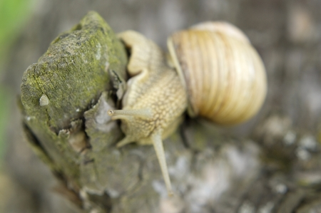 hermaphrodite: Close-up of burgundy snail walking on the leaf, also known as Roman snail, edible snail or escargot