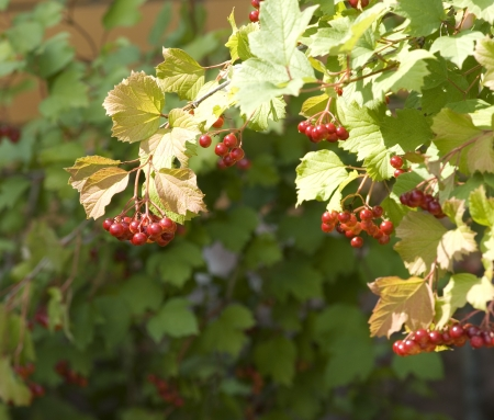 branches with clusters of red and green viburnum leaf Stock Photo