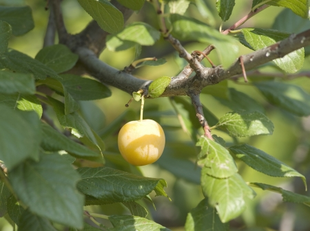 Prunus branch tree with yellow plums on it photo