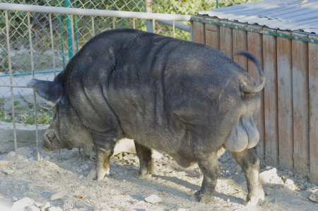 Wild boar in the zoo  Nature background photo