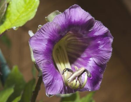 Cobaea scandens  Garden bakcground  Nature concept