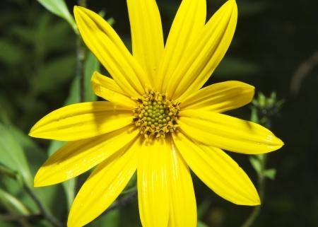 Flower of Jerusalem artichoke Helianthus tuberosus