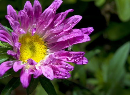 Purple Aster flower on black background, isolated Stock Photo