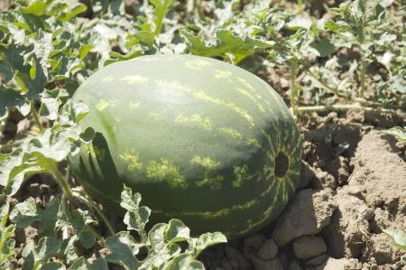 Agriculture watermelon field big fruit summer water melon