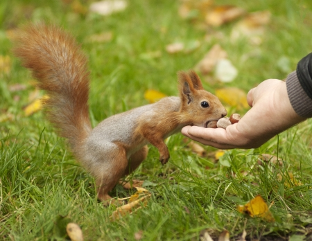 Red squirrel on a grass  Nature background Stock Photo - 15988811