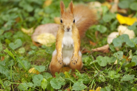 Red squirrel on a grass  Nature background Stock Photo - 15988839