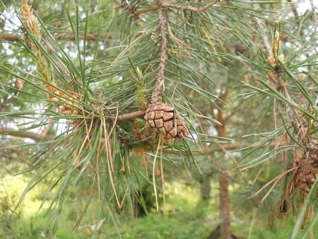 Branch of pine with cones. Nature abstract image photo