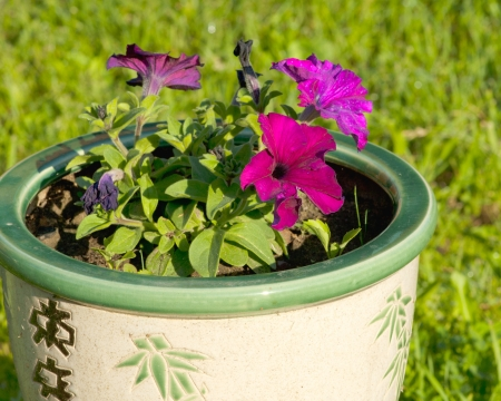 Colorful petunias in garden in blossom in pot