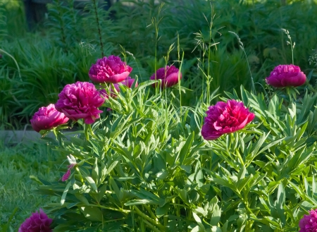 Peonies blooming in the garden on summer day and shine photo
