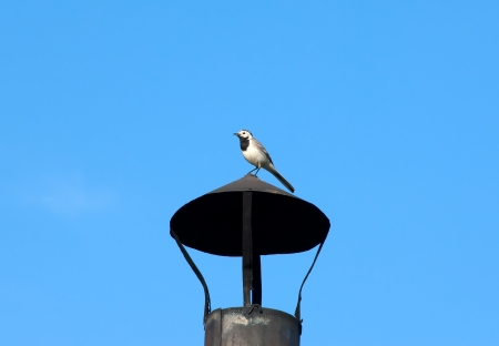 Pied Wagtail - Motacilla alba - on a house tube photo
