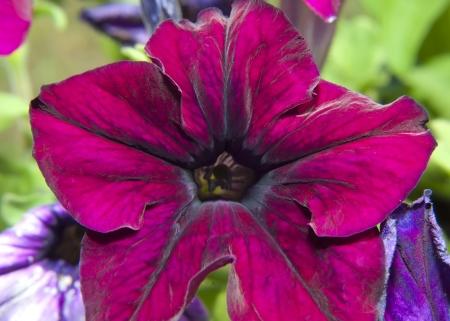 Macro image of striped purple and white petunia photo