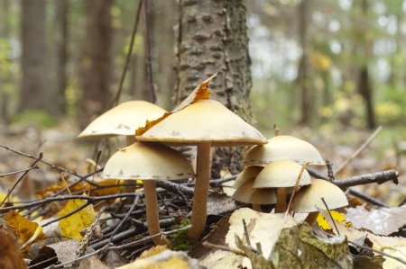 Few poisonous toadstool on autumn forest background Stock Photo - 23987663