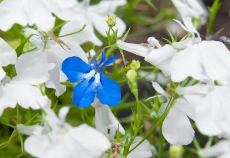 lobelia: Blue lobelia (Lobelia erinus) closeup, format filling. Blue one between whites