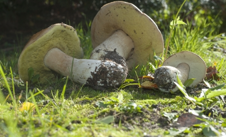 Boletus edulis, commonly known as penny bun, porcino or cep, is a basidiomycete fungus, and the type species of the genus Boletus Stock Photo - 24444930