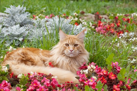 The Maine Coon, also known as American Longhair, is the bigest domesticated breed of cat with a distinctive physical appearance and high level hunting skills