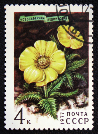 estampilla: MOSCOW, RUSSIA - JANUARY 7, 2017: A stamp printed in USSR shows a Novosieversia glacialis, series, circa 1977