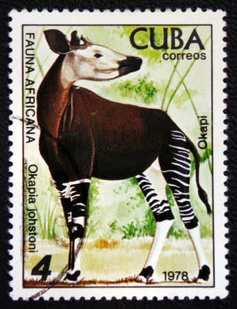 MOSCOW, RUSSIA - JANUARY 7, 2017: A stamp printed in CUBA shows a Okapia johnstoni, African fauna series, circa 1978 Stock Photo