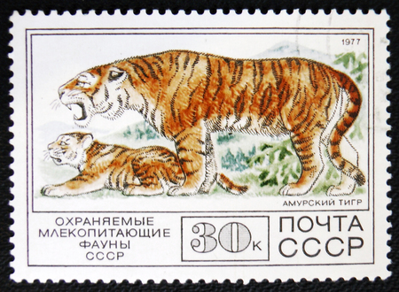 old envelope: MOSCOW, RUSSIA - JANUARY 7, 2017: A stamp printed in USSR, shows a Amur Tiger, circa 1977