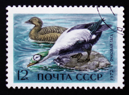 MOSCOW, RUSSIA - FEBRUARY 12, 2017: Postage stamp with a picture of Spectacled eider (Somateria fischeri), printed in USSR, circa 1972