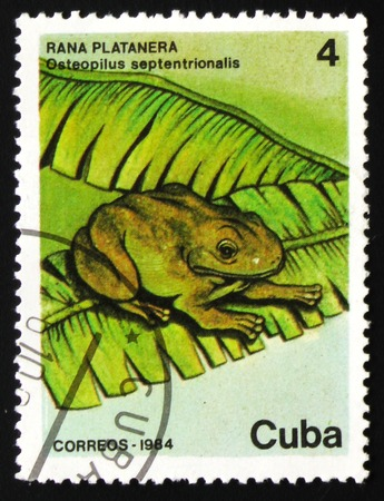 estampilla: MOSCOW, RUSSIA - FEBRUARY 19, 2017: A stamp printed in CUBA shows image of a frog Osteopilus septentrionalis, circa 1984