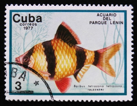 tetrazona: MOSCOW, RUSSIA - APRIL 2, 2017: A post stamp printed in Cuba show the fish with the inscription Barbus tetrazona tetrazona, Lenin Park Aquarium, Havana, circa 1977