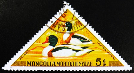 MOSCOW, RUSSIA - JULY 15, 2017: A stamp printed in Mongolia shows Shelduck, Tadorna tadorna, series, circa 1973