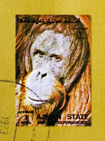MOSCOW, RUSSIA - NOVEMBER 10, 2018: A stamp printed in Ajman shows Orangutan (Pongo spp.), Animals, big format serie, circa 1973 Stock Photo - 114383190