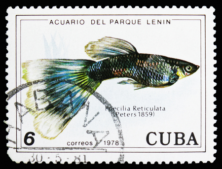 MOSCOW, RUSSIA - OCTOBER 21, 2018: A stamp printed in Cuba shows Guppy (Poecilia reticulata), Fish (in Lenin Park Aquarium, Havana) serie, circa 1978