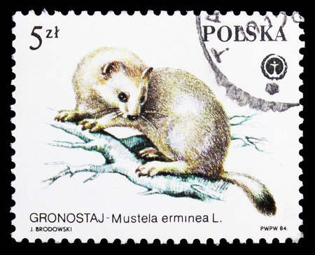 MOSCOW, RUSSIA - SEPTEMBER 15, 2018: A stamp printed in Poland shows Stoat (Mustela erminea), Animals Protected serie, circa 1984