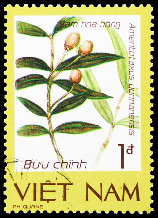 MOSCOW, RUSSIA - JANUARY 4, 2019: A stamp printed in Vietnam shows Yunan yew (Amentotaxus yunnanensis), Precious and rare flora serie, circa 1986 Editorial