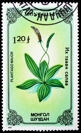 MOSCOW, RUSSIA - JANUARY 4, 2019: A stamp printed in Mongolia shows Plantago major, Medicinal Plants serie, circa 1985