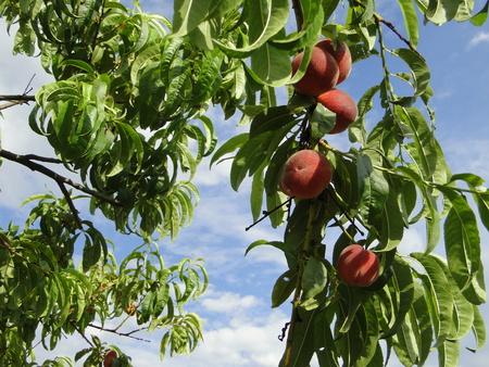 nurture: Harvest of peaches