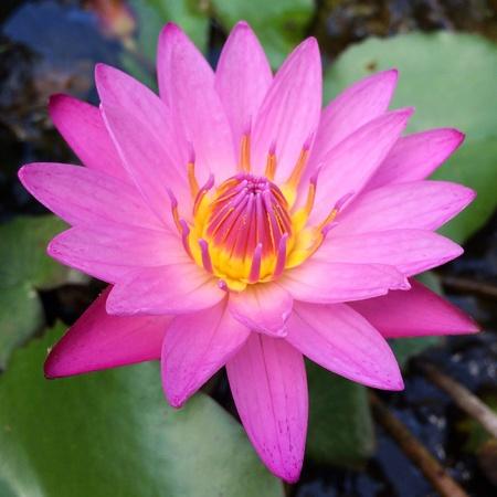 color: Lotus purple color