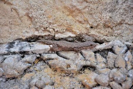 leopard gecko: Lizard disguise on the rock wall.