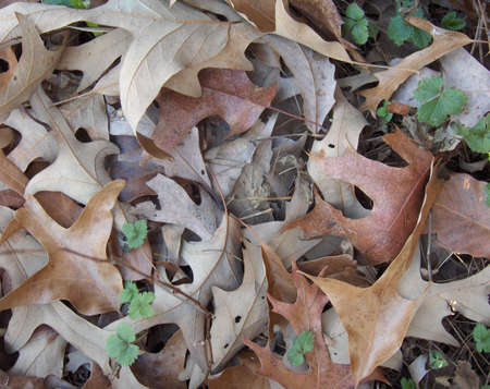 ground cover: Green shoots amid a ground cover of dead leaves Stock Photo