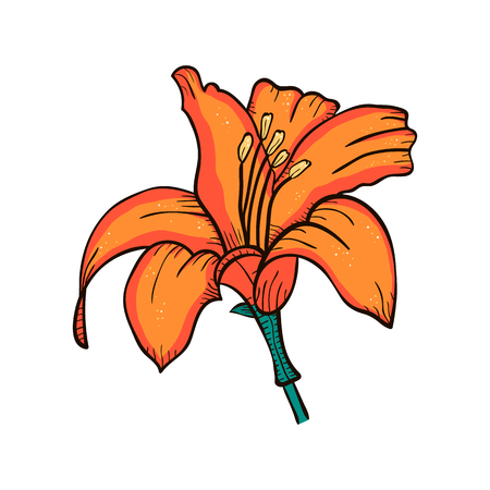 Illustration Lily flower closeup isolated on white