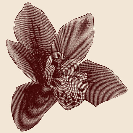 Orchid engraving on beige background Vector