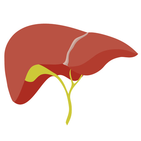 hepatology: Anatomic liver illustration on white background