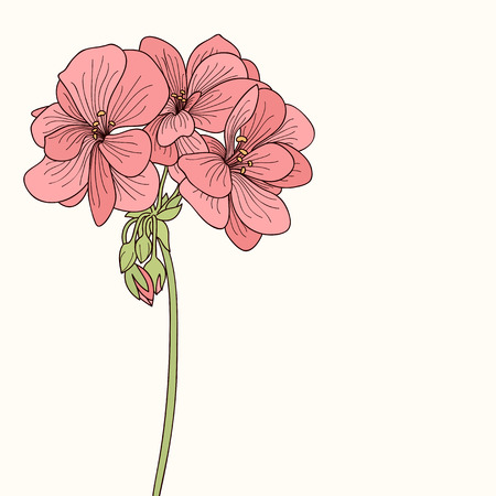 botanics: Pink geranium flower drawing