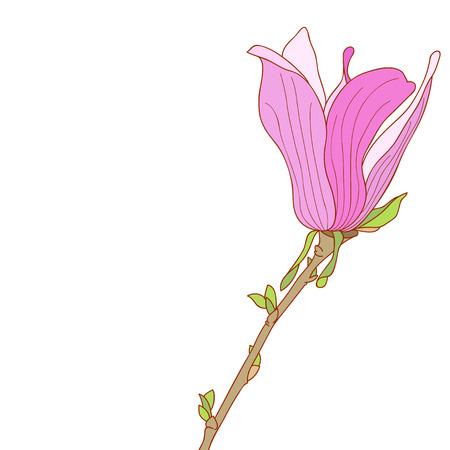 magnolia soulangeana: Pink flower of Magnolia soulangeana