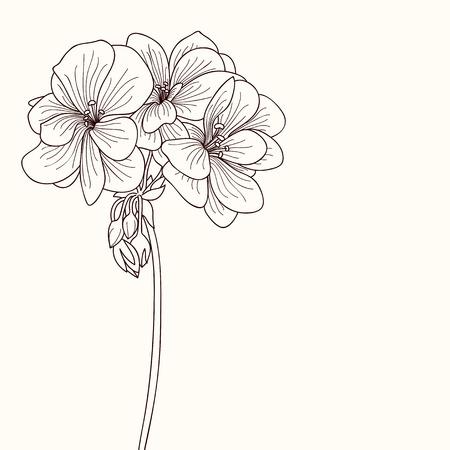dessin fleur: G�ranium dessin de fleurs Illustration