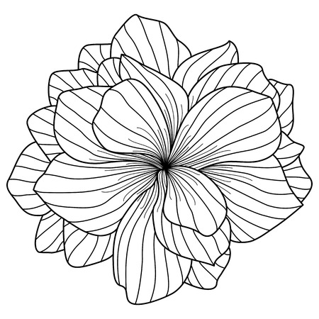 floriculture: Begonia flower drawing on white background Illustration