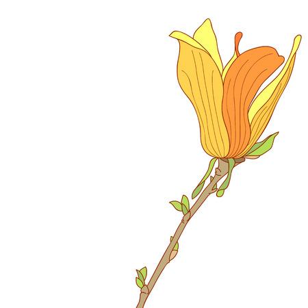 magnolia soulangeana: Yellow flower of Magnolia soulangeana Illustration
