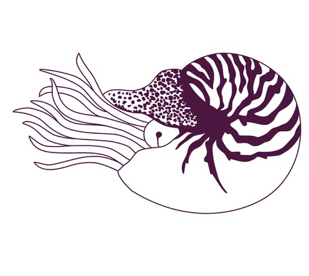 nautilus: Nautilus Pompilius illustration Illustration