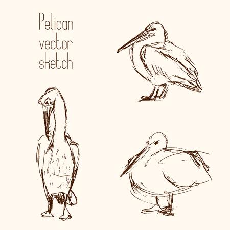 Set of pelican pencil sketches