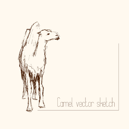 Pencil sketch of two-humped camel Illustration