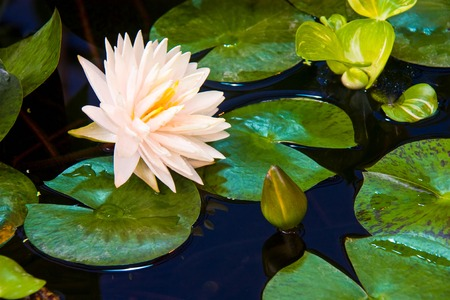 White Lotus hybrids beautiful white. Nelumbo nucifera, also known as Indian lotus, sacred lotus, bean of India is aquatic plant in the family Nelumbonaceae.