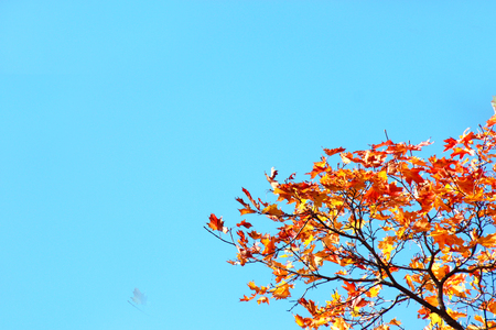 Beautiful tops of maple trees with blue sky in the autumn forestor park. Copy space. Soft focus Stock Photo